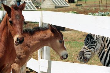 Brown horses Trenton's Pride (voiced by Joshua Jackson ) and Ruffshod (voiced by Michael Rosenbaum ) meet Stripes (voiced by Frankie Muniz ) in Warner Bros' Racing Stripes