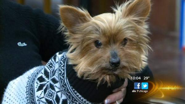 Owner saves Yorkie from coyote attack