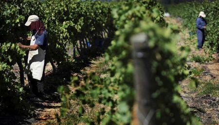 Climate change sends Chile's wine industry southward