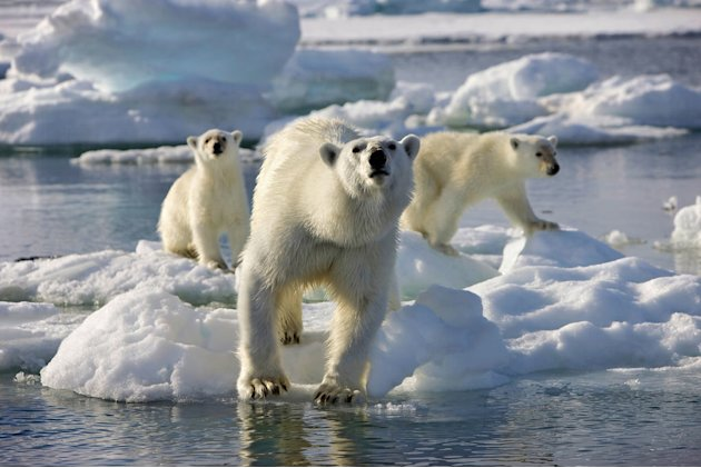 Mother polar bear and two cubs on pack ice, Svalbard. She is sizing up the camera crew as a potential meal whilst they were filming with their aerial camera mounted to a zodiac. They tried to maintain
