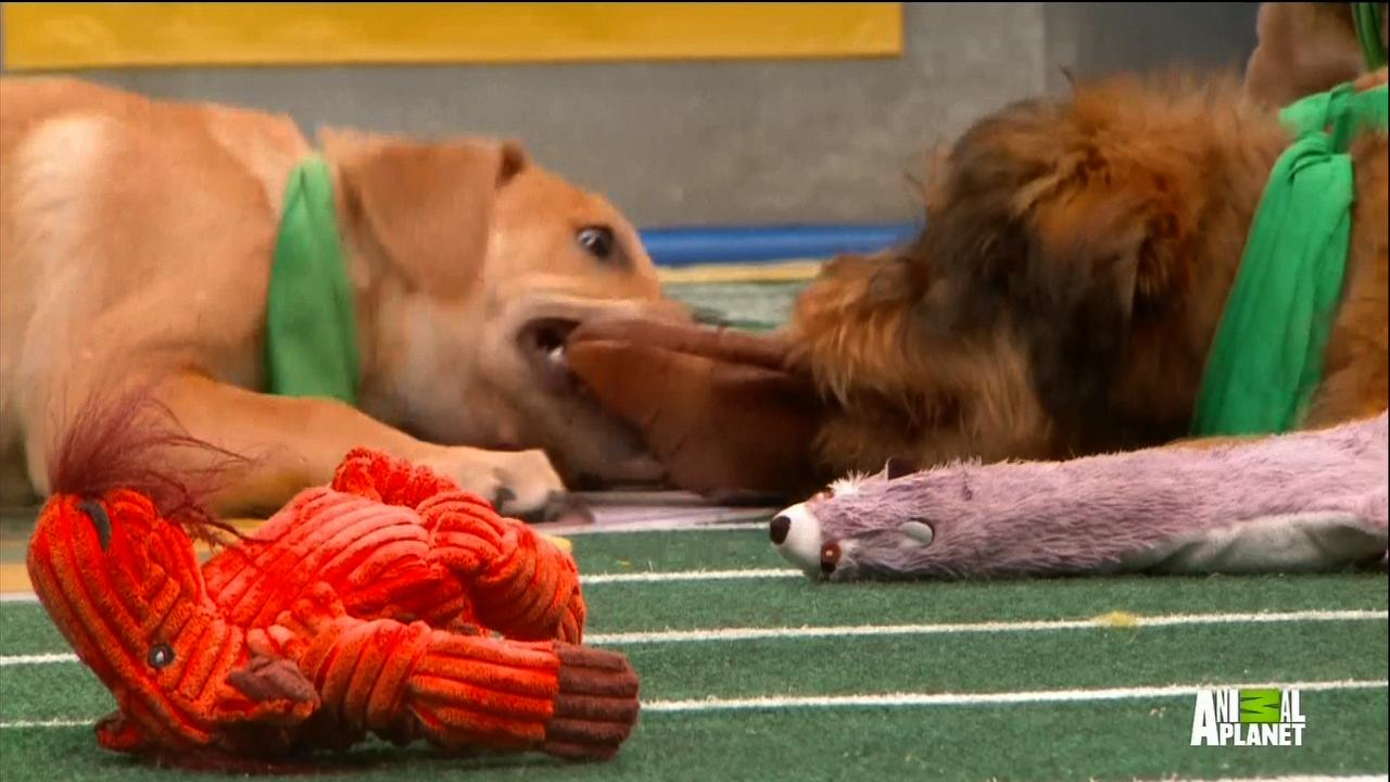 Why 'Puppy Bowl 12' Was Better Than the Super Bowl
