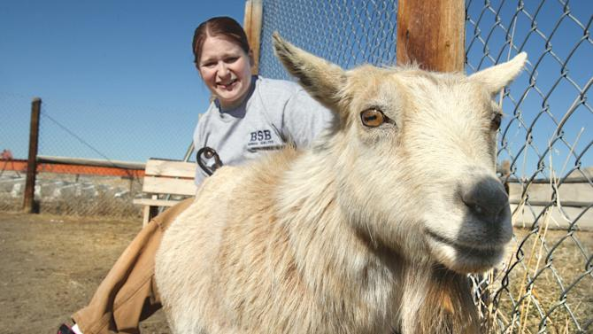 "In this April 3, 2013 photo shows Butte-Silver Bow Animal Shelter supervisor Jacki Casagranda sits with ""Shirley"" a pygmy goat in Butte Mont.   The goat was picked up at a local bar by the animal warden last weekend. Fairmont Hot Springs Resort general manager Steve Luebeck says staffers knew the goat was missing but didn't realize it had been stolen until they saw a story in The Montana Standard  reporting that a goat had been taken into a Butte bar early Sunday.  Shirley was returned to the resort's petting zoo. (AP Photo/The Montana Standard, Walter Hinick)"