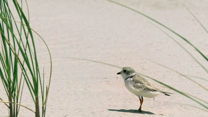 FILE - In a Tuesday, July 24, 2001 file photo, a piping plover bird walks on the beach in West Hampton Dunes, N.Y.  The endangered bird's return to Fire Island, N.Y., will severely restrict truck access to the barrier island during cleanup efforts in the aftermath of Superstorm Sandy. If officials don't get the estimated 82,500 cubic yards of trash removed by the end of March, they'll have to haul the remaining debris by barge. (AP Photo/Ed Bailey,File)
