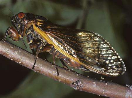 An adult cicada ovipositing into an apple twig is shown in this undated handout photo by Connecticut Agricultural Experiment Station released to Reuters on May 2, 2013. REUTERS/Chris T. Maier/Connecticut Agricultural Experiment Station/Handout