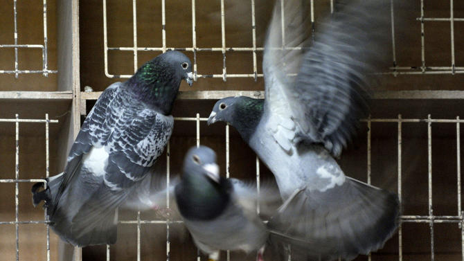 Pigeon sale yields world record for feathered Bolt