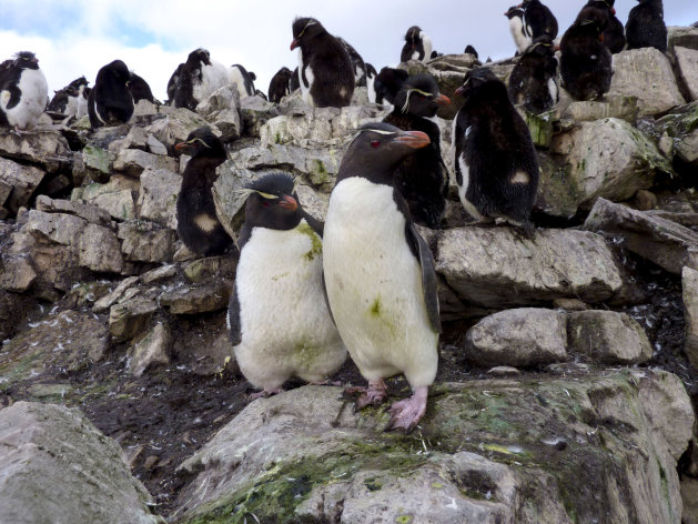 In this March 10, 2012 photo, penguins gather on the coast of Murrell Farm near the northeastern corner of the Falkland Islands. The Falklands have struck oil, potentially pumping billions of dollars into their treasury. One downside is the potential for a major spill in seas where penguins, whales, seals and other marine mammals are drawn to unspoiled coasts. (AP Photo/Michael Warren)