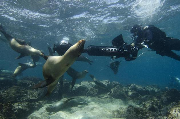 In this May 2013 photo provided by Catlin Seaview Survey, Christophe Bailhache navigates an SVII camera through a large group of sea lions during a survey dive at Champion Island in Galapagos. Few hav