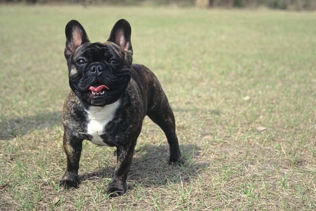 French Bulldog — Quiet and Cute