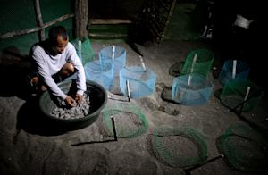 A worker gathers olive ridley sea turtle hatchlings…