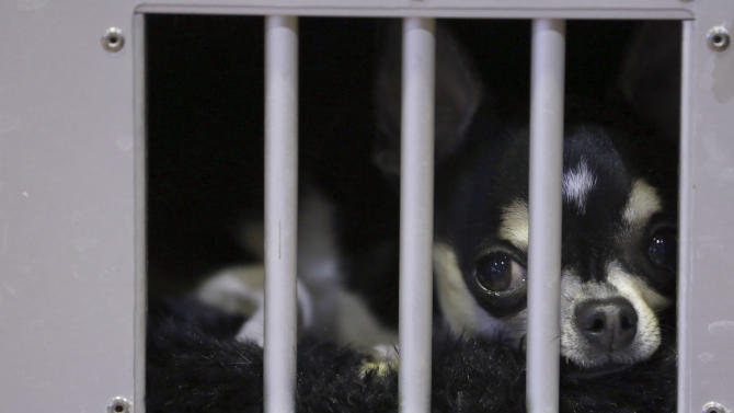 A smooth coat Chihuahua waits in his cage in the benching area during the 137th Westminster Kennel Club dog show, Monday, Feb. 11, 2013 in New York.  (AP Photo/Mary Altaffer)