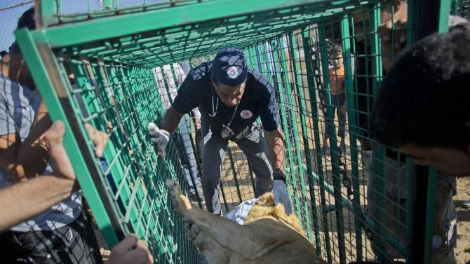 Members of Four Paws medical team settle a male lion into a cage at Al-Bisan zoo at the Al-Bisan zoo, as the team prepares a transfer for three lions to Israel en route to a better life at a wildlife sanctuary in Jordan after their zoo was damaged in the recent Israel-Hamas war, in Beit Lahiya in the northern Gaza Strip,  Tuesday, Sept. 30, 2014. Three lions, a pair of males and a pregnant female, were sedated before the big cats were placed in metal cages and loaded onto a truck that transferred them through the Erez border crossing into Israel. Amir Khalil of the Four Paws International welfare group said the zoo's animals were in urgent need of care after the 50-day war. He said the zoo was badly damaged and more than 80 animals died as a result of the fighting. (AP Photo/Khalil Hamra)