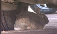 Bold Bunnies Attacking Cars At Denver Airport