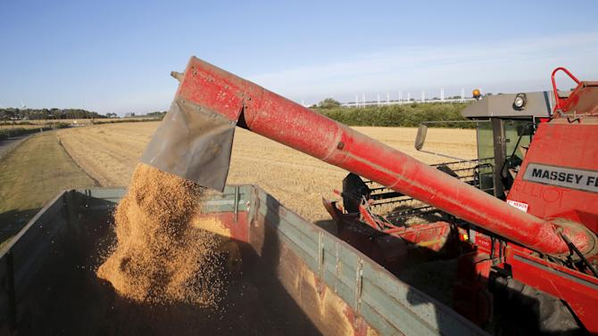 Wheat grains are seen pouring into a truck as a French farmer harvests his crop in a field in Coquelles, near Calais