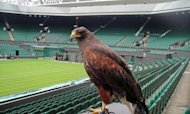 Wimbledon Hawk Rufus Snatched From Car