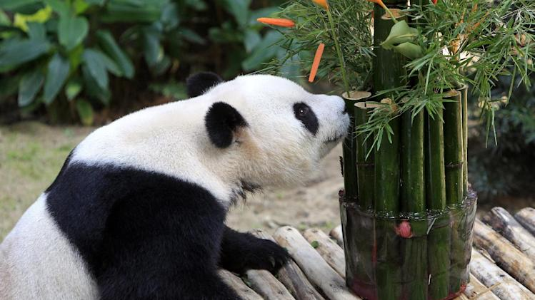 Xing Xing, formerly known as Fu Wa, a male giant panda from China, sniffs at its bamboo birthday cake, in celebration of its 8th birthday, at the Giant Panda Conservation Center at the National Zoo in Kuala Lumpur, Malaysia, Saturday, Aug. 23, 2014. The two giant pandas on loan to Malaysia from China for 10 years to mark the 40th anniversary of the establishment of diplomatic ties between Malaysia and China. (AP Photo/Lai Seng Sin)