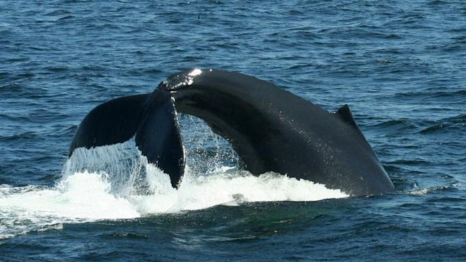 This 2012 photo provided by the journal Science shows a female Humpback whale named Filament lobtailing prior to feeding dive. Some wild animals seem to follow the same monkey-see, monkey-do social conformity in the quest for good food that people do, a new study finds. Monkeys in South Africa instantly switched food choices _ to something they used to avoid _ purely because of peer pressure, like teenagers in high school, scientists say. And generations of humpback whales off the coast of New England learned a new feeding technique from watching what worked for one of them, according to two studies in Thursday's journal Science. (AP Photo/Jennifer Allen, Ocean Alliance)