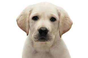 Labrador Retriever Puppy via Shutterstock