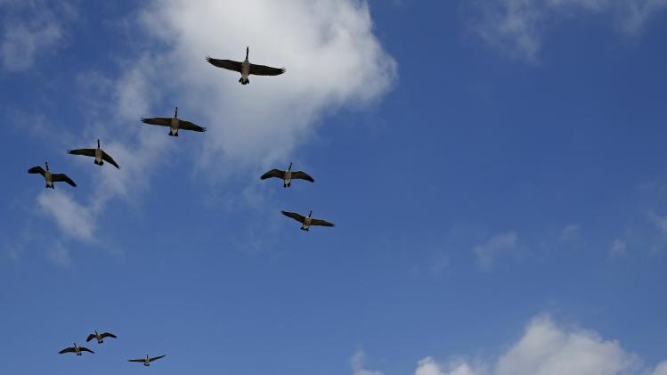 Geese fly over the Martin Luther King Jr. Memorial in Washington