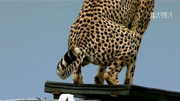 Cheetah Poops in Jeep