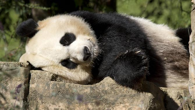 FILE - In this Oct. 11, 2012 file photo, Mei Xiang, a giant female panda, rests at the National Zoo in Washington.  A Chinese scientist said that humans used to eat pandas. In a newspaper interview, Wei Guangbiao said prehistoric man ate the bears in what is now part of the city of Chongqing in southwest China.  (AP Photo/Jacquelyn Martin, File)