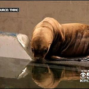 Sea Lion, Rescued In Washington, Brought To Bay Area Marine Mammal Center