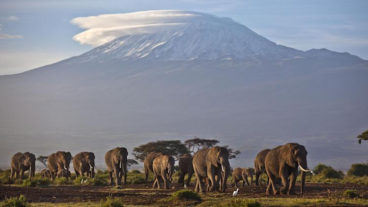 FILE - In this Monday, Dec. 17, 2012 file photo, a herd of adult and baby elephants walks in the dawn light as the highest mountain in Africa Mount Kilimanjaro in Tanzania is seen in the background, in Amboseli National Park, southern Kenya. The United Nations Environmental Program (UNEP) is marking the U.N.'s first ever World Wildlife Day Monday, March 3, 2014 to raise awareness about an illicit global trade in illegal timber, elephant ivory and rhino horns worth an estimated $19 billion. (AP Photo/Ben Curtis, File)