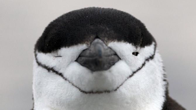 In this Jan. 20, 2015 photo, a Chinstrap penguin stands on the coast near the town of Villa Las Estrellas on King George Island in Antarctica. Their beady little eyes, squarish torsos and adorable waddling make penguins one of the main attractions for tourists who come to Antarctica. Tourism to Antarctica rose by 10 percent in 2014, compared to the previous year. (AP Photo/Natacha Pisarenko)