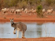 This file illustration photo shows a kangaroo standing next to a waterhole in the Australian Outback, on July 19, 2002. A British backpacker missing for three days in Australia's harsh Outback was found safe and well on Friday following a major rescue operation, according to police