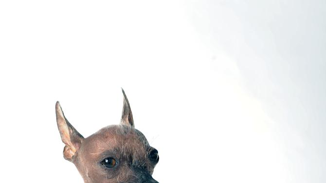 Roman poses for a portrait while competing in the 25th annual World's Ugliest Dog Contest at the Sonoma-Marin Fair on Friday, June 21, 2013, in Petaluma, Calif. (AP Photo/Noah Berger)