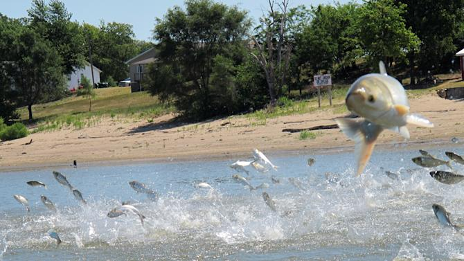 This June 13, 2012, photo shows an Asian carp, jolted by an electric current from a research boat, jumping from the Illinois River near Havana, Ill.  Scientists at a network of field stations on the Mississippi and Illinois rivers are using electric currents to stun fish so they can be scooped up and examined. Researchers have been monitoring fish populations on the rivers for many years and now are looking for evidence that native species are being affected by the arrival of invasive Asian carp. (AP Photo/John Flesher)