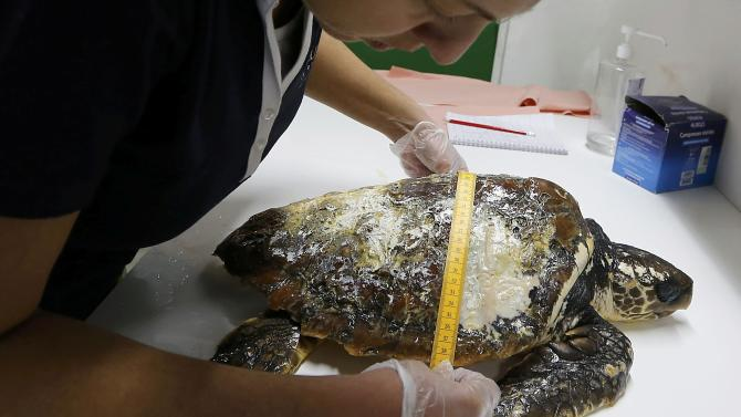 An employee at the care centre for sea turtles at the Rochelle (CESTM - centre de soins pour tortues marines) measures a Caouanne turtle at the aquarium La Rochelle