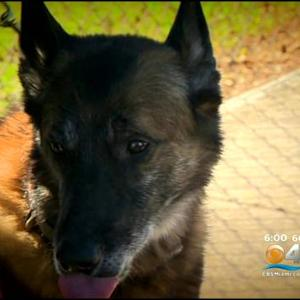 Exclusive: Wanted Man Captured With Help Of Miami Police K-9 Unit