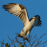 Ospreys are expected to be among the birds that travel through the New York City area during the first part of second week of September, predicts BirdCast, which forecasts bird migrations.