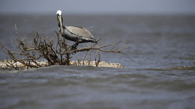 A brown pelican sits on dead mangrove, which was directly impacted by oil from the nation's worst offshore oil spill, is seen as Cat Island, formerly a vibrant nesting ground for pelicans, egrets and roseate spoon bill, as erodes into Barataria Bay in Plaquemines Parish, La., Thursday, April 18, 2013. Underneath the surface, environmentalists and scientists fear there may be trouble, from tiny organisms to dolphins. Yet the long-term environmental impact from the spill is still not fully known and will likely be debated for years to come. (AP Photo/Gerald Herbert)