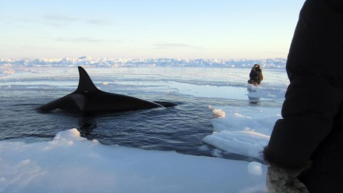In this Tuesday, Jan. 8, 2013 photo provided by Marina Lacasse, a killer whale surfaces through a small hole in the ice near Inukjuak, in Northern Quebec. Mayor Peter Inukpuk urged the Canadian government Wednesday to send an icebreaker as soon as possible to crack open the ice and help the pod of about a dozen trapped orcas find open water. The Department of Fisheries and Oceans said it is sending officials to assess the situation. (AP Photo/The Canadian Press, Marina Lacasse) MANDATORY CREDIT