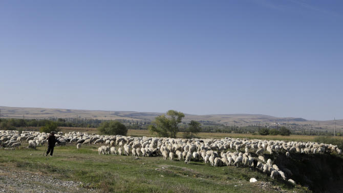 A Georgian shepherd herds his flock of sheep  near of the village Sagareyo, Georgia, Sunday, Sept. 30, 2012. Georgia holds tightly contested parliamentary elections on Oct. 1. (AP Photo/Efrem Lukatsky)