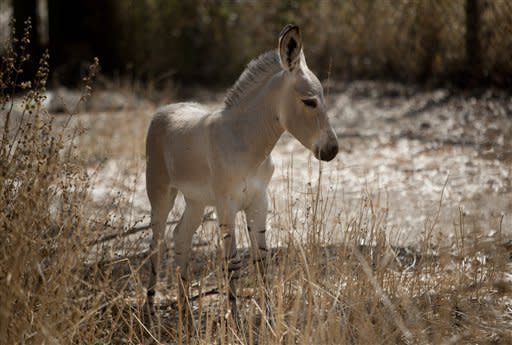 sraela, a month old Somali wild ass stands in the enclosure at the Ramat Gan safari park near Tel Aviv, Israel, Wednesday, May 30, 2012. According to the International Union for Conservation of Nature, the Somali wild ass is a critically endangered species, facing a high risk of extinction in the wild. (AP Photo/Ariel Schalit) NM