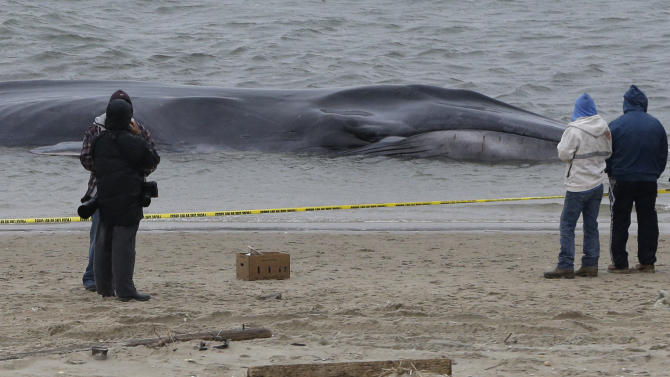 Curious onlookers inspect an emaciated 60-foot finback whale that beached itself in the Breezy Point neighborhood of the Rockaways in New York, Wednesday, Dec. 26, 2012. Biologist Mendy Garron says it's unclear what caused the whale to beach itself, but its chances of survival appear slim. (AP Photo/Kathy Willens)
