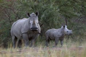 To match Feature AFRICA-POACHING/