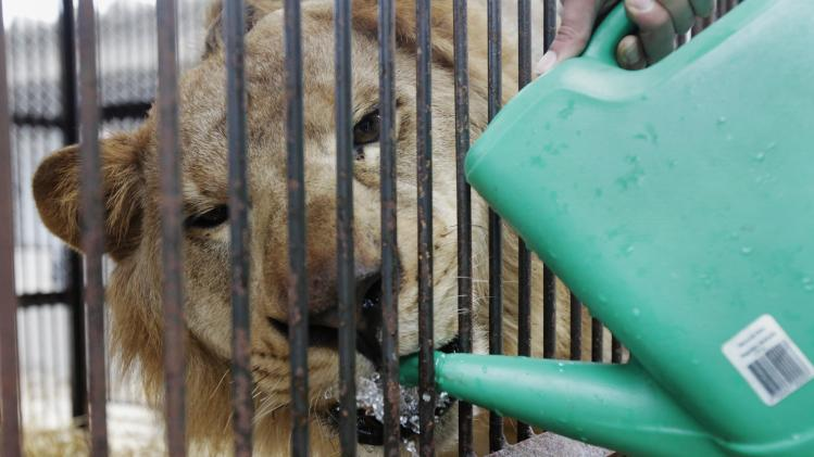 "Rescued lion ""Coco"" drinks water in its cage while it is being quarantined at a temporary custody centre in Lima"