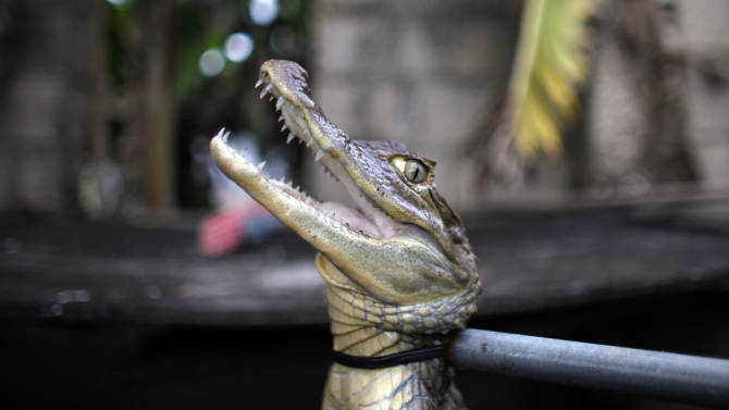 In this Dec. 5, 2012 photo, a caiman is held by its neck with a pole in a holding tank at the home of Daniel Montanez in the Los Naranjos neighborhood of Vega Baja, Puerto Rico. Caimans are native to Central and South America, but were introduced to Puerto Rico by stores such as Woolworth's that sold baby caimans the size of lizards as pets during the 1960s and 70s, Atienza said. When the caimans began to grow, people released them into the wild, where females rapidly reproduced, laying up to 40 eggs at a time. (AP Photo/Ricardo Arduengo)