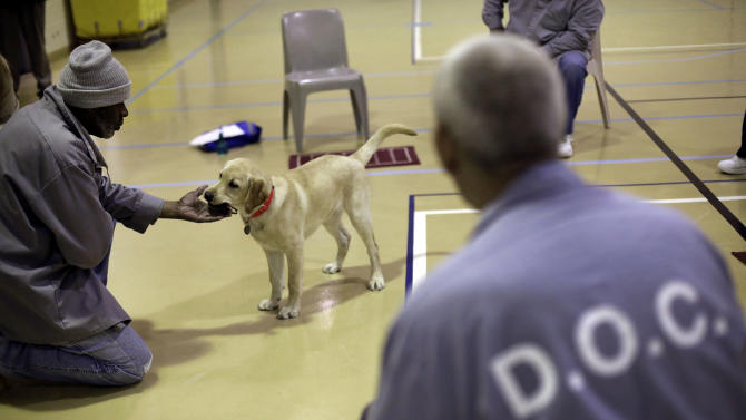 In this Dec. 18, 2012 photo, Nero, a veteran assistance dog in training, takes a ball from inmate James Harrison during a training session at Western Correctional Institution in Cresaptown, Md. Nero is one of three dogs assigned since September to inmates at the maximum-security prison for basic training as service dogs for disabled military veterans. The inmates, who are also veterans, are among the state's first prisoners to join a national trend of training service dogs in correctional institutions. Professional trainers say prison-raised dogs tend to graduate sooner and at higher rates than those raised traditionally in foster homes because puppies respond well to the consistency and rigid schedules of prison life. (AP Photo/Patrick Semansky)