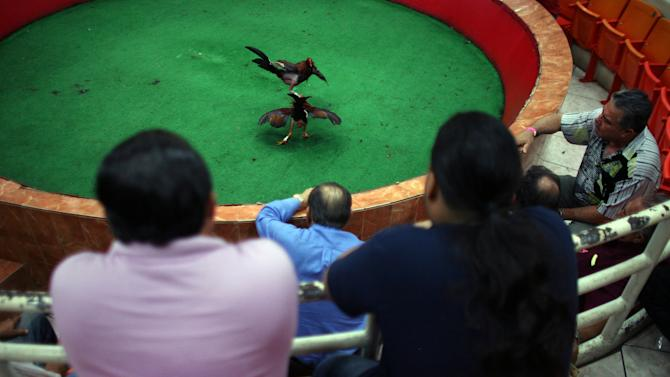 In this Friday, July 6 2012 photo, people watch gamecocks battle in a ring lined with artificial turf at Las Palmas, a government-sponsored cockfighting club in Bayamon, Puerto Rico. The island territory's government is battling to keep the blood sport alive, as many matches go underground to avoid fees and admission charges levied by official clubs. Although long in place, those costs have since become overly burdensome for some as the island endures a fourth year of economic crisis.  (AP Photo/Ricardo Arduengo)