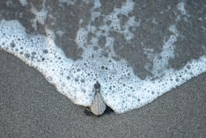 An olive ridley sea turtle hatchling makes its way …