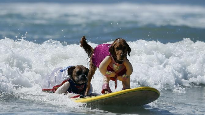 Two dogs in costume share a board during the Surf City surf dog competition in Huntington Beach