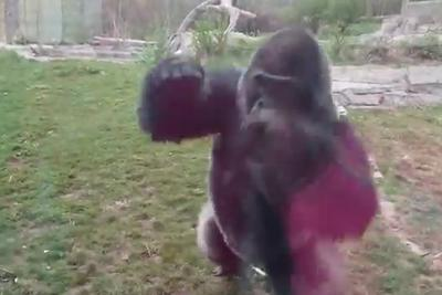 Family runs in terror after gorilla charges them and CRACKS THE OBSERVATION GLASS