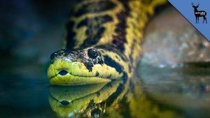 Giant Anaconda Still Missing in New Jersey - Animalist News