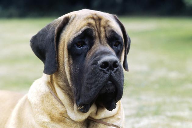 Mastiff — Gentle Giant