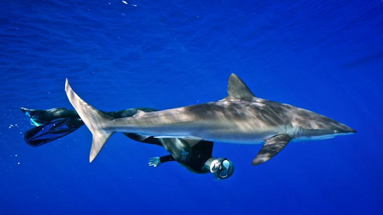 White Shark Freediver