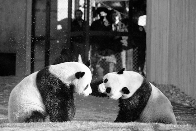 FILE - In this April 20, 1974 black-and-white file photo, The National Zoo's giant pandas, Ling-Ling and Hsing-Hsing  play in their yard in Washington.  The National Zoo is celebrating 40 years of pan